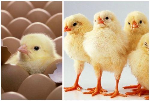 готовые цыплята