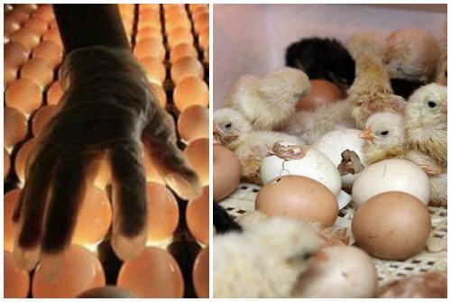 рождение из яиц