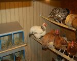 Дезинфекция птичника в домашних условиях – Дезинфекция курятника — серная и йодная шашка, инструкция по применению в присутствии птицы, обработка однохлористым йодом